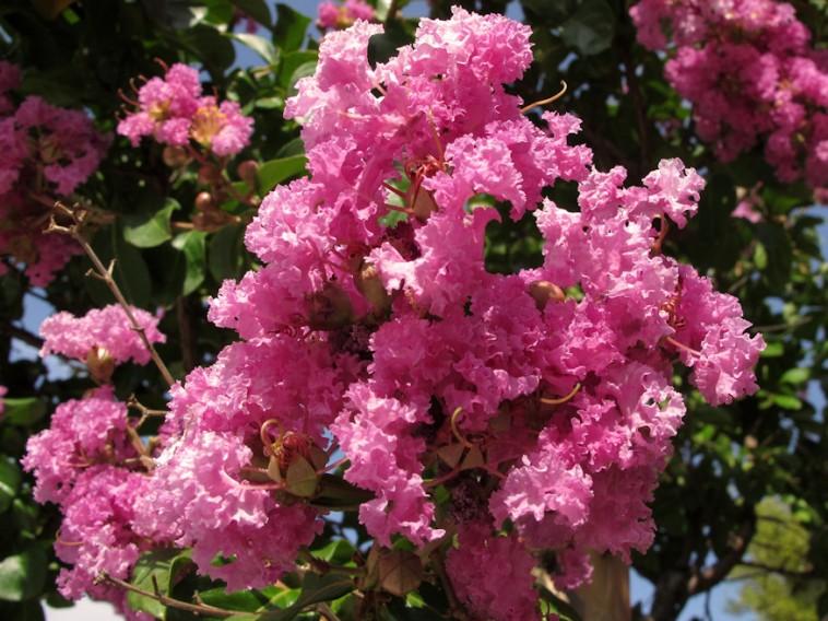 A selyemmirtusz igazi mediterrán növénykülönlegesség ...