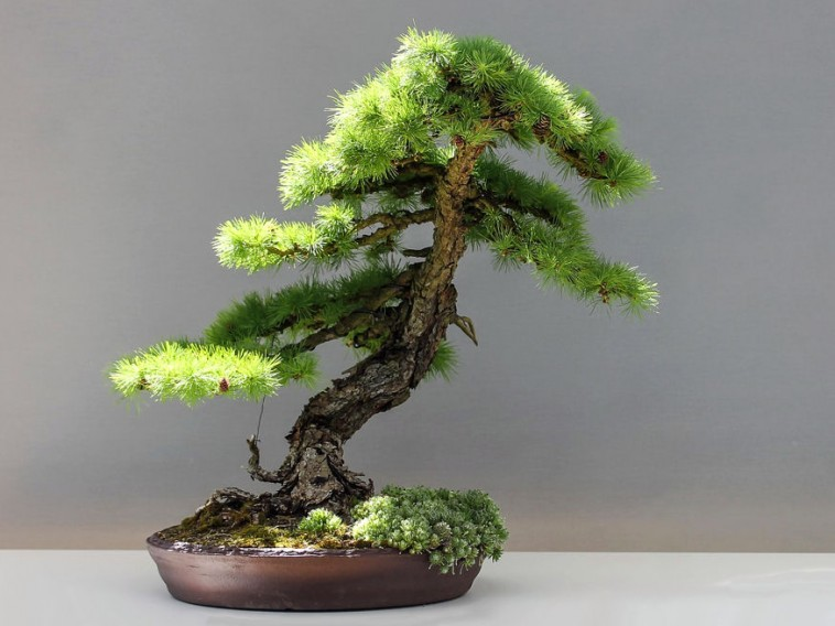 Neveljek-e bonsai fácskát?