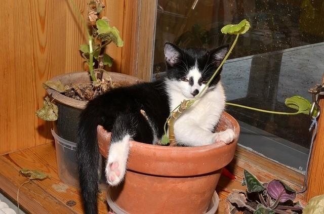 Muskátli macskával