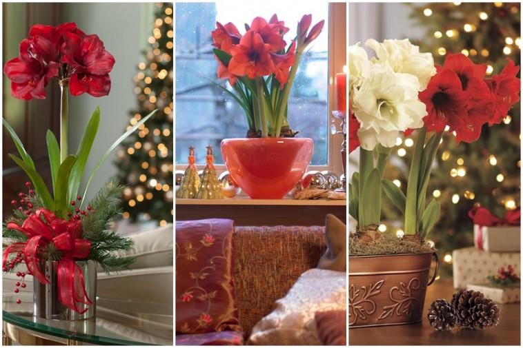 Virágozzon amarillisz karácsonykor!