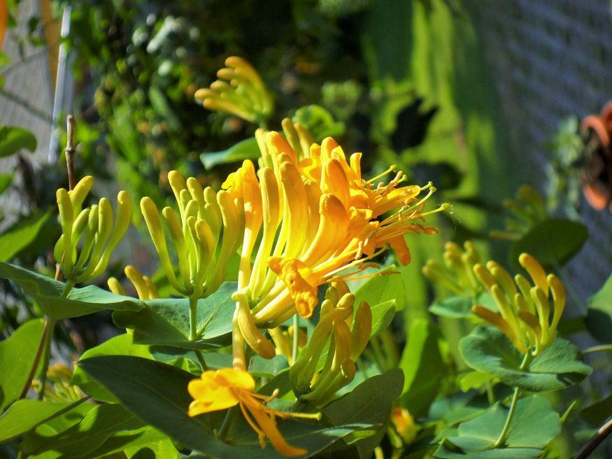 Májusban virágot bont a magyar lonc