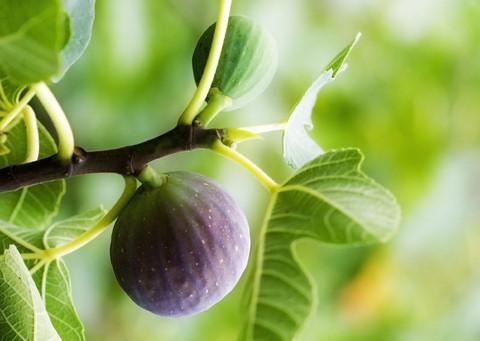 Télálló fügefa
